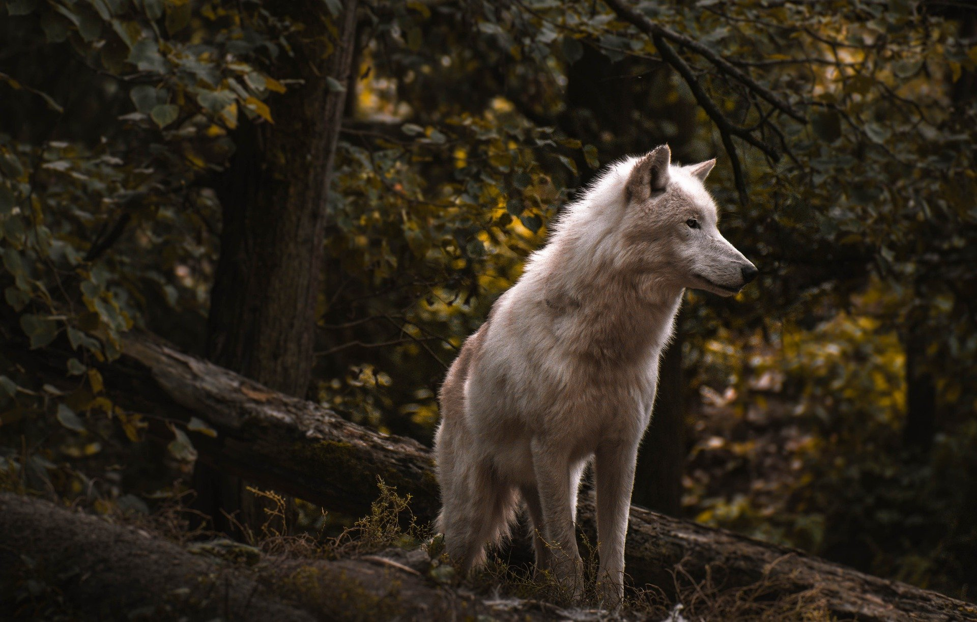Songs About Wolves